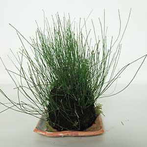ヒメトクサの草物盆栽