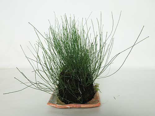 ヒメトクサ草物盆栽