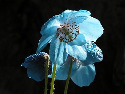 シラユキゲシ(白雪芥子)の育て方|メコノプシス属のヒマラヤの青いケシ