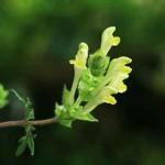 Scutellaria orientalis subsp. pinnatifida