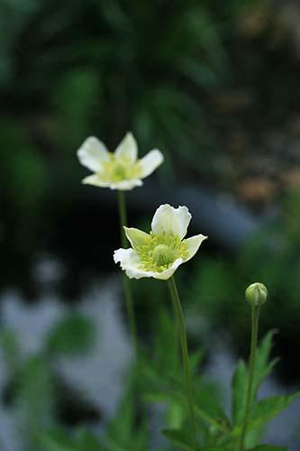 春咲きシュウメイギク