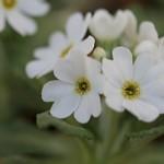 白花ネムロコザクラ