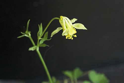 アクイレギア・フラベスケンス(Aquilegia flavescens var. flavescens)