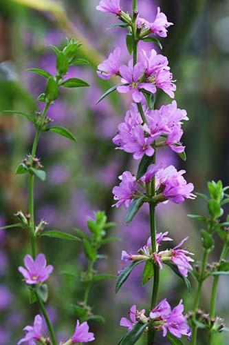 8月の庭の山野草の花たち 山野草を育てるnoriwako