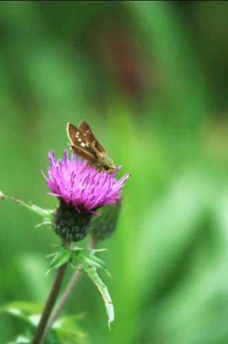 ノハラアザミと蝶