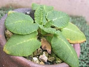 Primuiaalpicolavarviolacea6.30