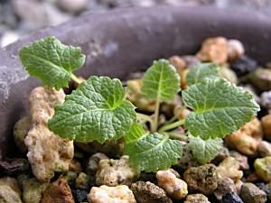 Primuiaalpicolaviolacea10.7