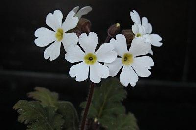 Primulachinensis