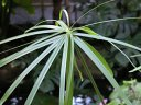 papirusu_thumb