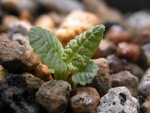 primuiaalpicolavarviolacea4.21