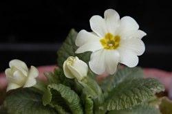 Primulaacaulis