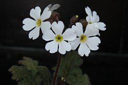 Primulachinensisstrata
