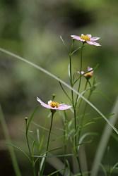 Coreopsisrosea