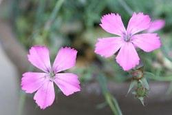 Dianthuspindicola