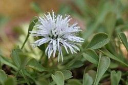 Globulariacordifolia