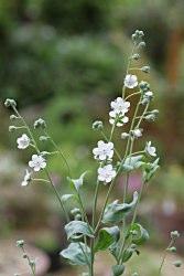 Omphalodeslinifolia
