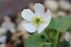 Ranunculuscrenatus