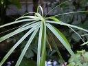 papirusu