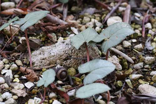 原種シクラメン 葉
