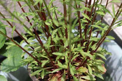 トウサワトラノオの葉