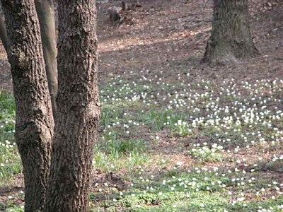 アズマイチゲの画像 p1_18