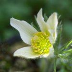 西洋白花オキナグサ