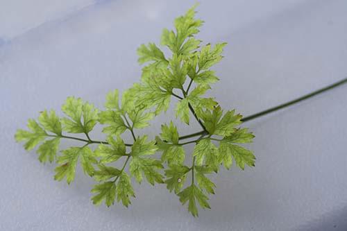 コセリバオウレンの葉