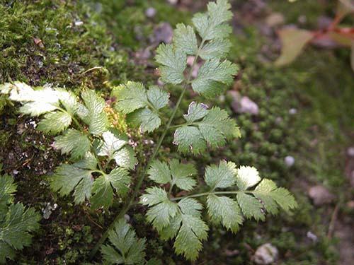 セリバオウレン(芹葉黄連)の葉