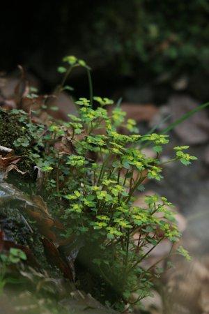 ツルネコノメソウ(蔓猫の目草)