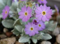 プリムラ・ダリアリカ(Primula darialica)