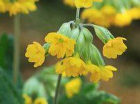 Primula veris ssp. macrocalyx