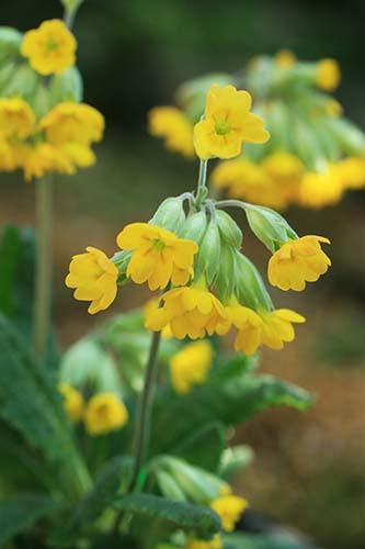 Primula・veris ssp. macrocalyx