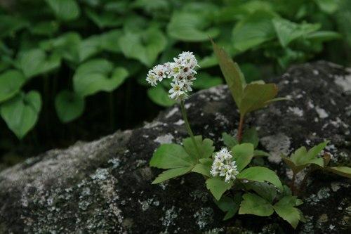 タンチョウソウ(丹頂草)