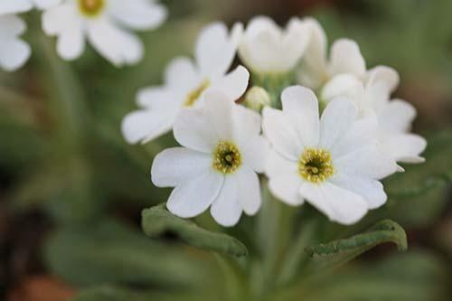 白花ユキワリコザクラ