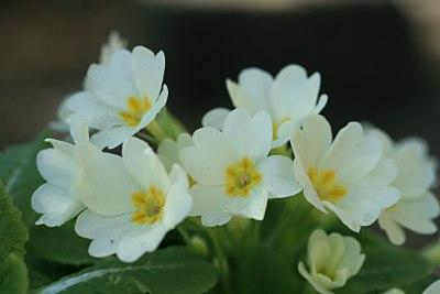 プリムラ・ブルガリス(Primula vulgaris)