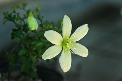 クレマチス・ペトリエイ(Clematis petriei)