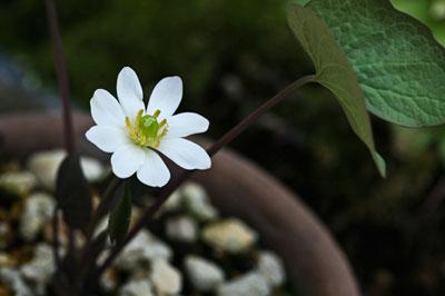 アメリカタツタソウ(Jeffersonia diphylla)