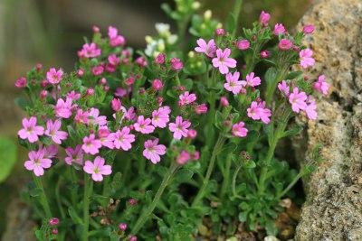 イワカラクサ(Erinus alpinus)