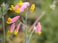 コリダリス・センペルヴィレンス(Corydalis sempervirens)