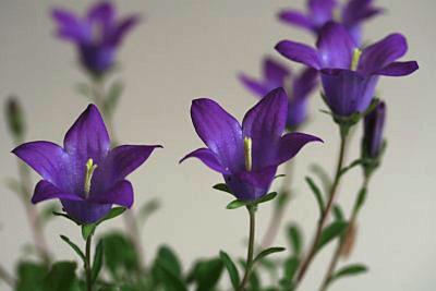 カンパニュラ・ベリディフォーリア(Campanula bellidiforia)