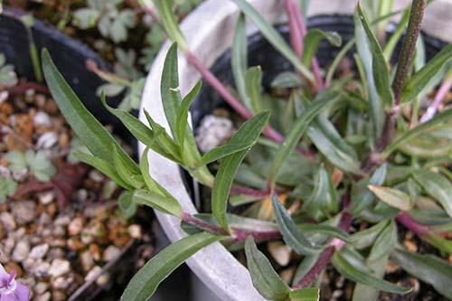カッコウセンノウの葉