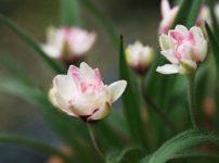 ロードヒポキシス(アッツ桜)
