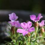 ダイアンサス・アルウッデイ(Dianthus x Allwoodii)