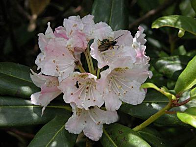 ハクサンシャクナゲ(白山石楠花)