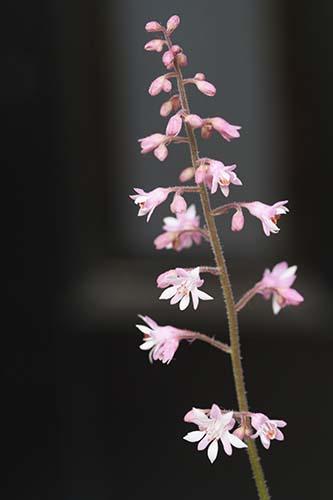 ヒューケレラ(Heucherella)