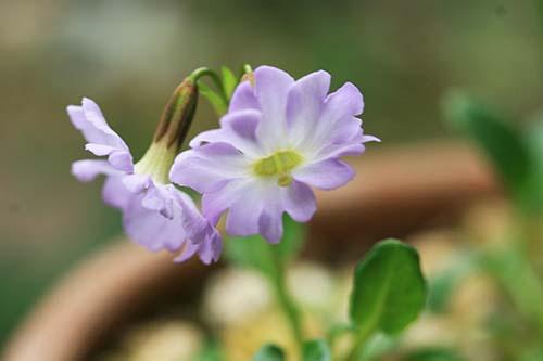プリムラ インボルクラータ(Primula involucrata)