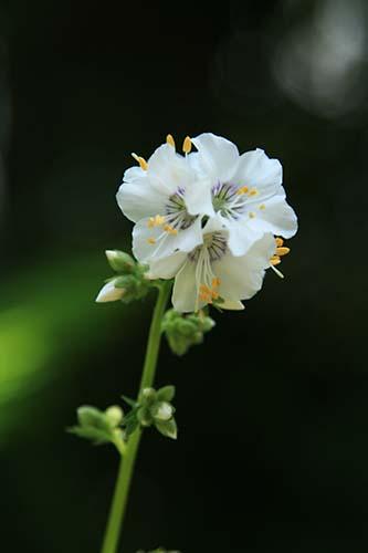 白花西洋ハナシノブ