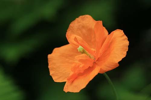 Papaver・rupifragum 'Flore Pleno'
