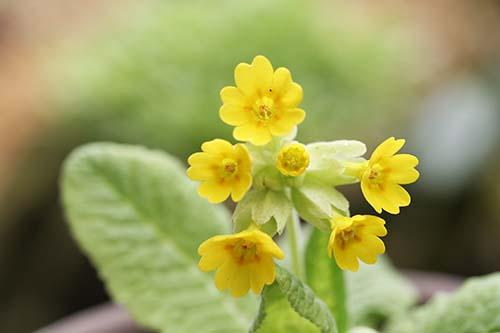 プリムラ・ベリス(Primula veris)