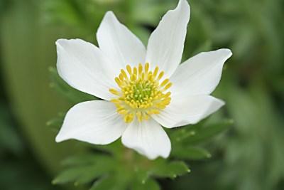 ハクサンイチゲ(白山一花)